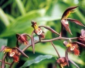Catsetum saccatum, photo credit: Arne and Bent Larsen