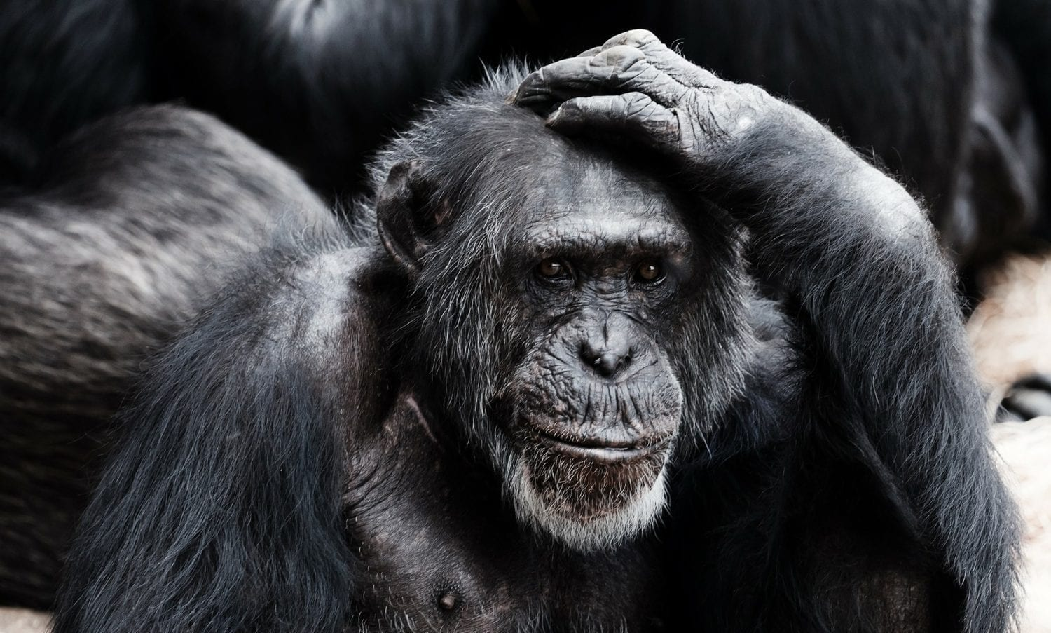 I do not think too deep. Ape scratching his head
