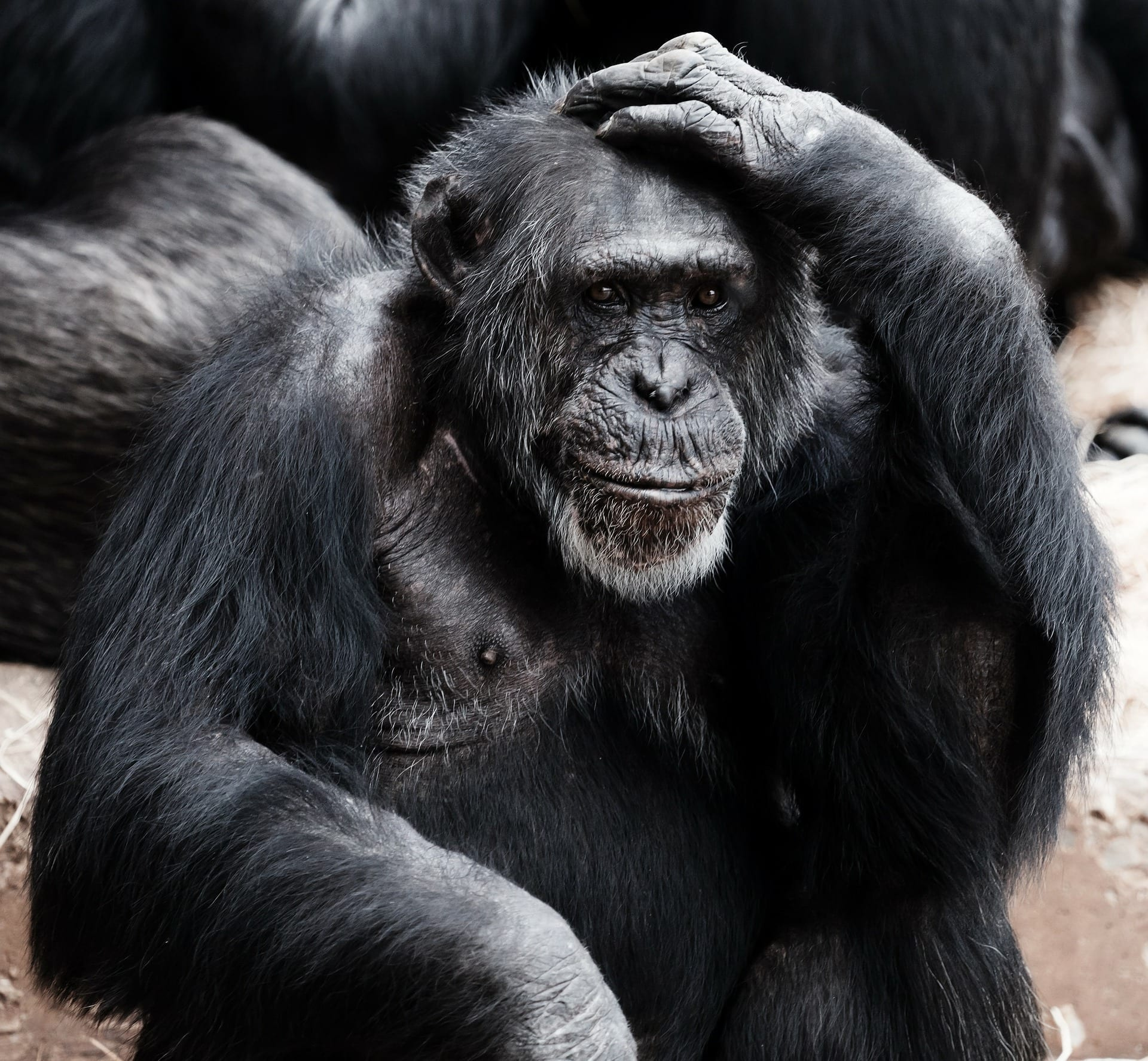 Chimp with a hand on its head
