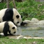 Mother and baby Panda: ID 35668772 © Hupeng | Dreamstime.com