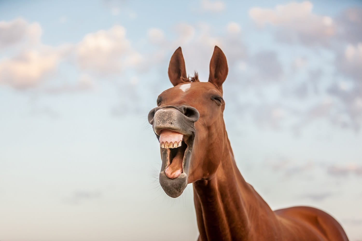 Horse 'laughing': ID 59526366 © Pat Smith | Dreamstime.com