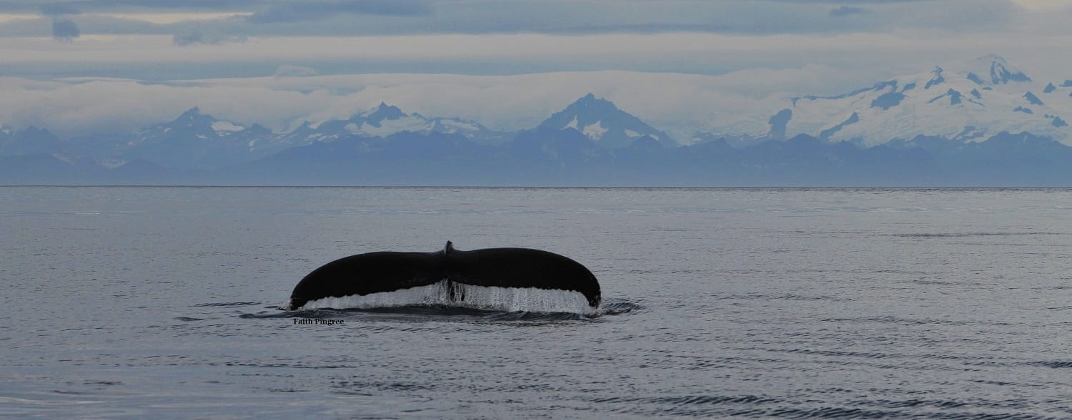 Whale fluke with mountains behind, photo credit Faith P.