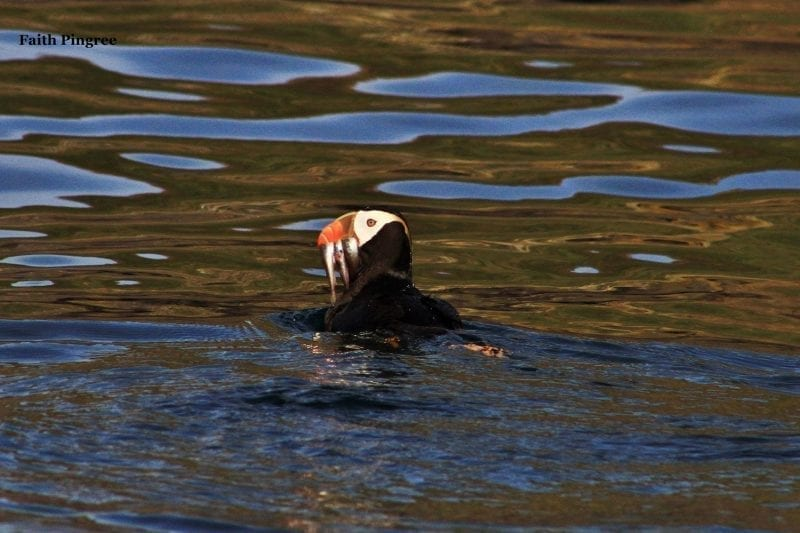 Tufted Puffin with needlefish, photo credit Faith P