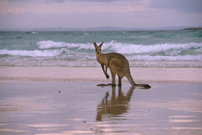 Kangaroo standing on the edge of a beach: ID 84964104 © Rozenn Leard | Dreamstime.com