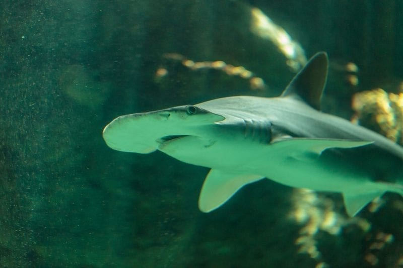 Bonnethead shark at an aquarium: ID 72521656 © Stephanie Starr | Dreamstime.com