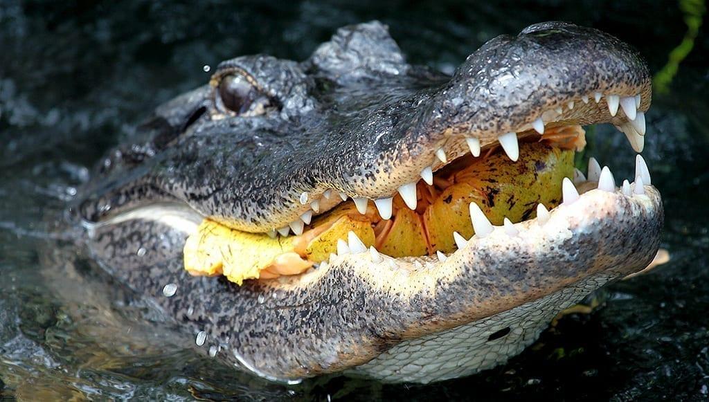 Alligator eating pond apple: photo credit: National Park Service