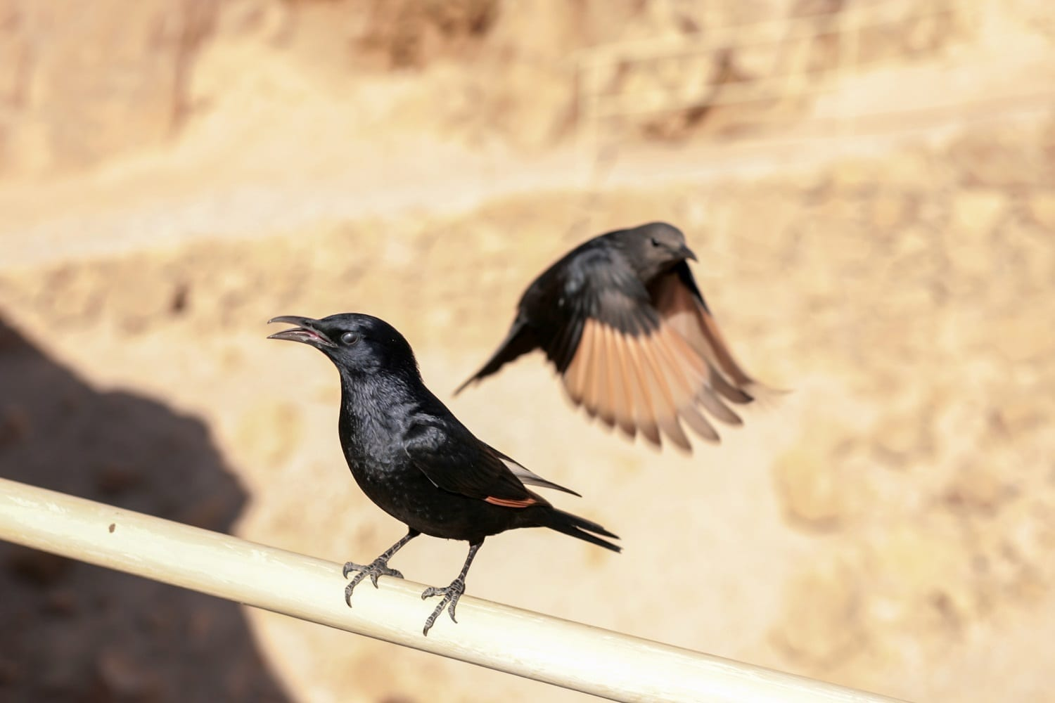 Tristram's Grackles at Masada ID 96006431 © | Dreamstime.com