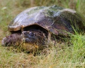 Common Snapping Turtle, photo credit: William Wise