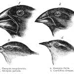 "Engraving of Darwin's Finches from ""Voyage of the Beagle"" 1845"