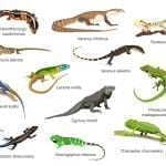 A CG depiction of dozen lizard species: ID 70178272 © Ekaterina Muzyka | Dreamstime.com