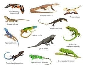 A CG depiction of dozen lizard species: ID 70178272 © Ekaterina Muzyka   Dreamstime.com