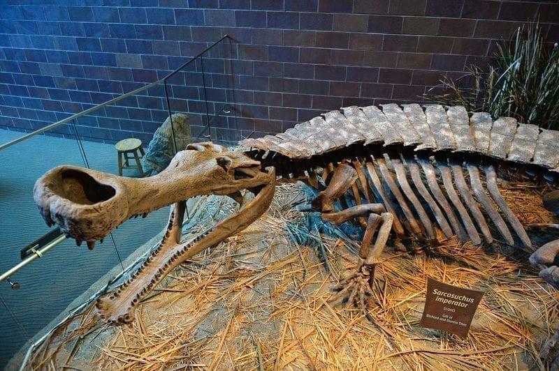 Sarcosuchus Skeleton at Indianapolis Chidren's Museum: ID 60158415 © R. Gino Santa Maria / Shutterfree, Llc | Dreamstime.com