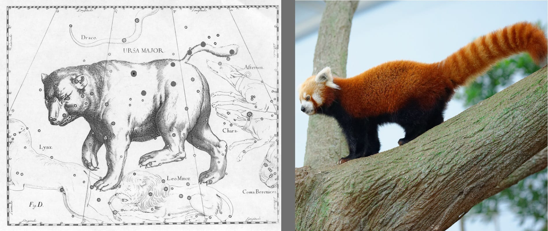 Drawing of Ursa Major as a bear with a Red Panda next to it. Red Panda photo: ID 36947330 © Jordan Tan | Dreamstime.com