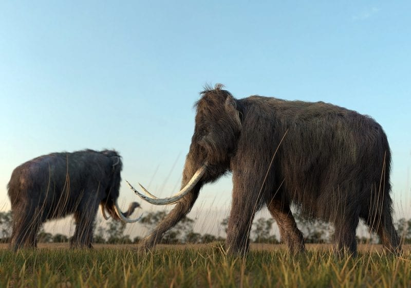 Wooly Mammoths grazing: ID 67725239 © William Roberts | Dreamstime.com