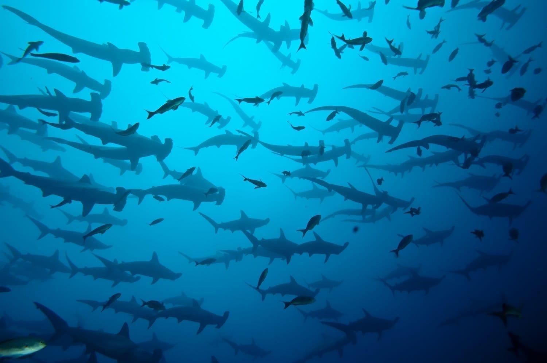 Hammerhead shark school: ID 12280811 © Dream69 | Dreamstime.com