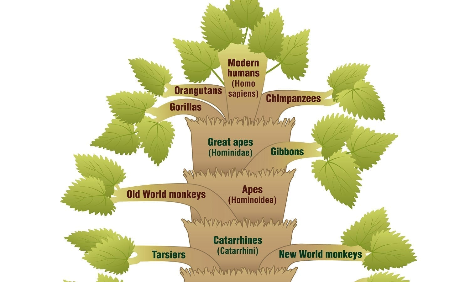 Evolutionary Tree of Life showing Gorillas farther from Humans than Chimps are: Illustration 51982494 © Peter Hermes Furian - Dreamstime.com
