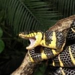 Mangrove snake with open mouth: ID 26061633 © Dennis Donohue | Dreamstime.com