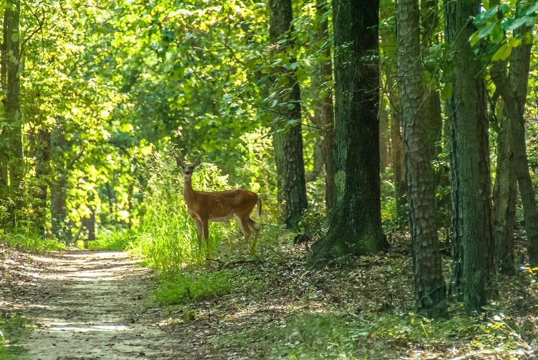 Doe looking towards us in sunlit woods, photo credit: Thomas Matthews, pxhere