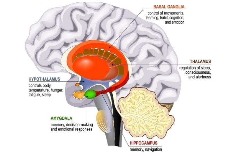 Limbic system diagram: Photo credit Dreamstime: 139569785