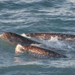 Narwhals swimming showing one tusk: Image courtesy of Kristin Laidre, NOAA