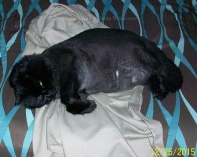 Black cat reclining on bed linens, photo credit: Cowboy Bob
