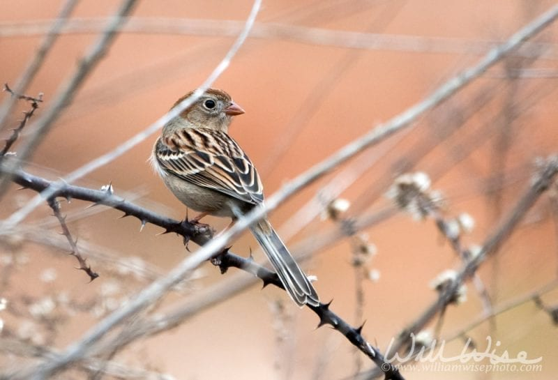 Field Sparrow on a branch, photo credit: William Wise