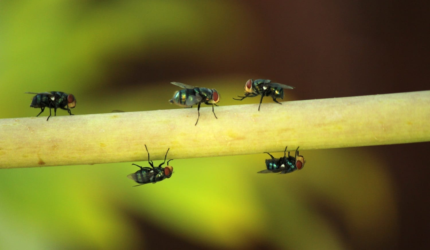 Flies on a stem: ID 136276884 © Samarn Plubkilang | Dreamstime.com