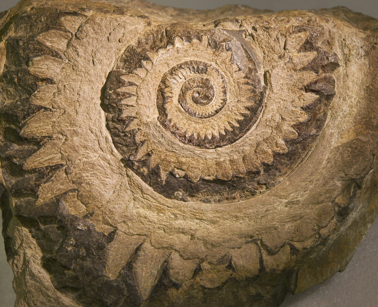 Helicoprion fossil showing coiled 'tooth': ID 30690 © Linda Bair | Dreamstime.com