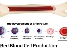 Red Blood Cell formation illustration: ID 135219352 © Iryna Timonina | Dreamstime.com