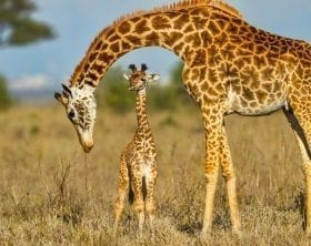 Mother giraffe bending over her baby: ID 83752030 © Simon Fletcher | Dreamstime.com