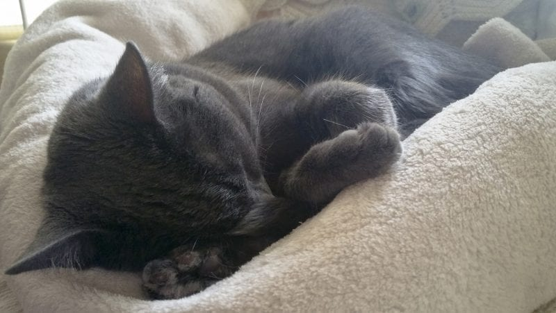Black cat sleeping on a blanket, photo credit: Circe Denyer