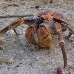 Christmas Island Robber Crab: ID 78010393 © Nijethorpe | Dreamstime.com
