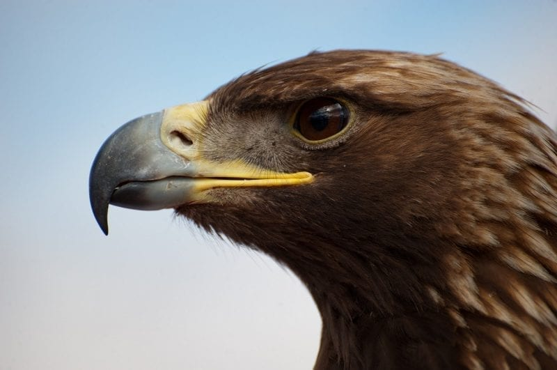 Golden eagle profile: Photo credit: skeeze on Pixabay