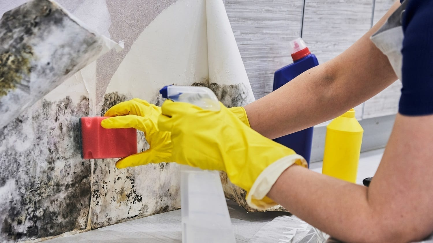 Gloved housekeeper cleaning mold from under wallpaper: ID 118227510 © Elvira Koneva | Dreamstime.com