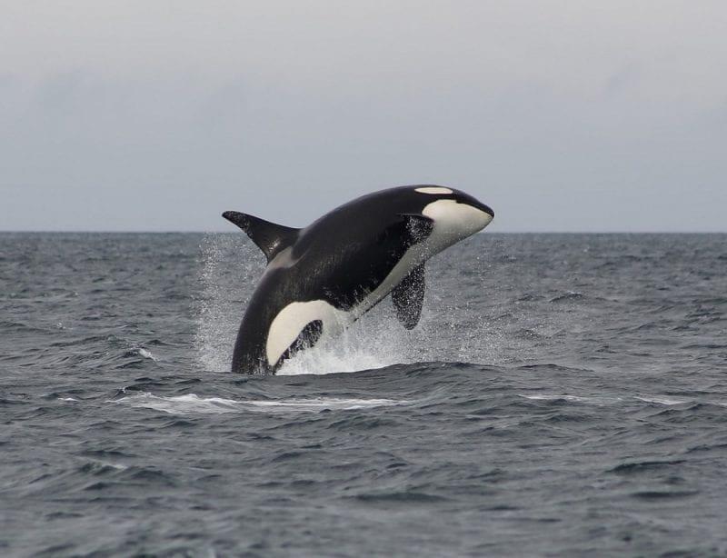 Orca gracefully arching in a breach, photo credit: Faith P.