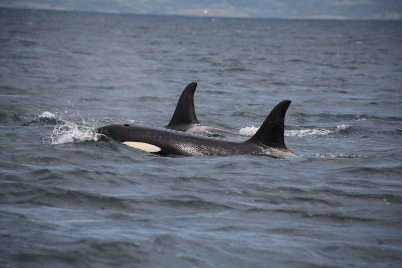 Two orca dorsal fins with the head showing on the near one, photo credit: Faith P.