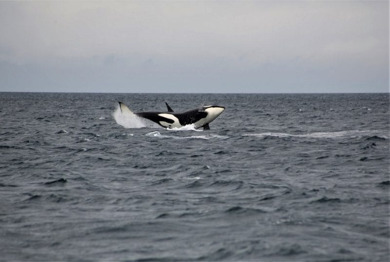 Orca landing on its side into the water, photo credit: Faith P.