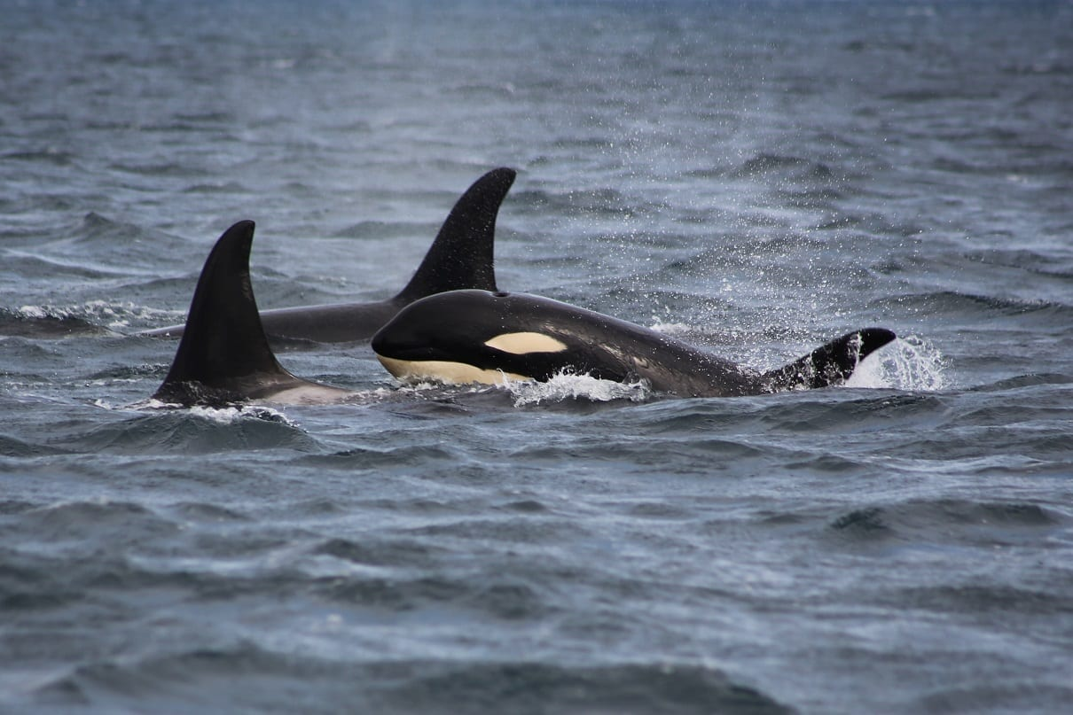 Two Orca dorsal fins with a calf head above the water, photo credit: Faith P.