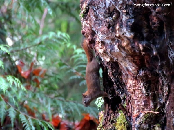 Deep brown squirrel on a tree trunk, photo credit: Wendy MacDonald
