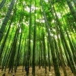 Bamboo grove with sunlight filtering through: photo credit Pxhere
