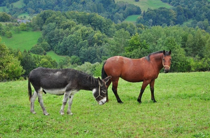 Donkey and horse in a pasture: ID 61314502 © Meryll | Dreamstime.com