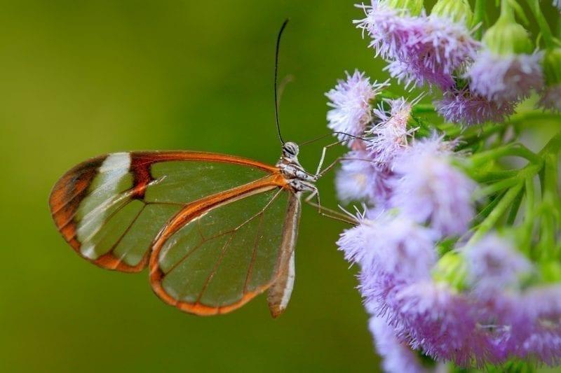 Glasswing butterfly on a purple flower: ID 84785809 © Ondřej Prosický | Dreamstime.com