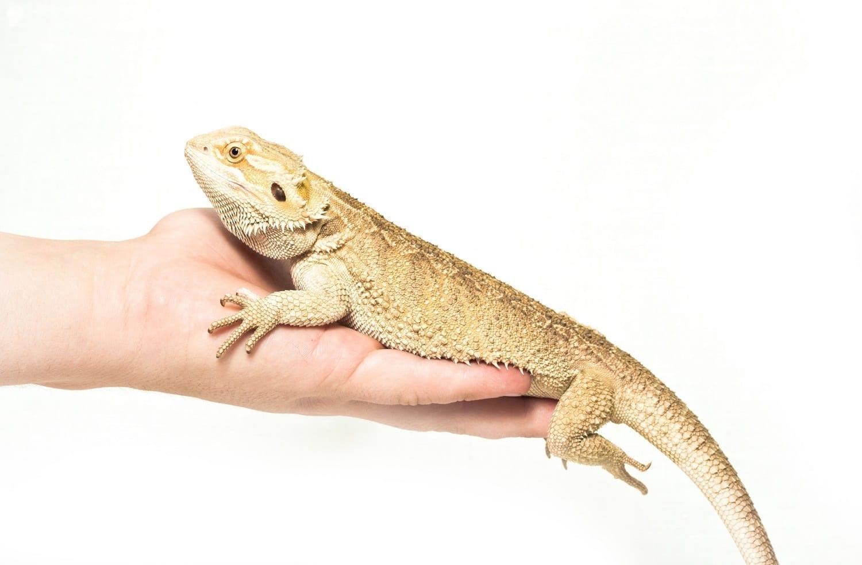 Lizard sitting on a hand: ID 30154887 © Anastasiia Lieonova | Dreamstime.com