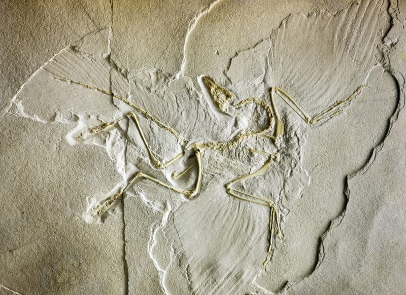 Archaeopteryx fossil incased in stone, Germany: ID 63404569 © Mikhailsh | Dreamstime.com