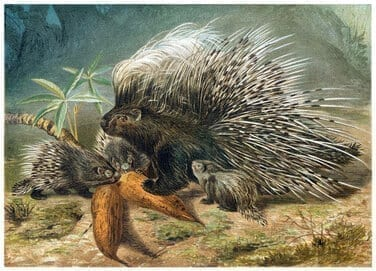 Porcupine engraving