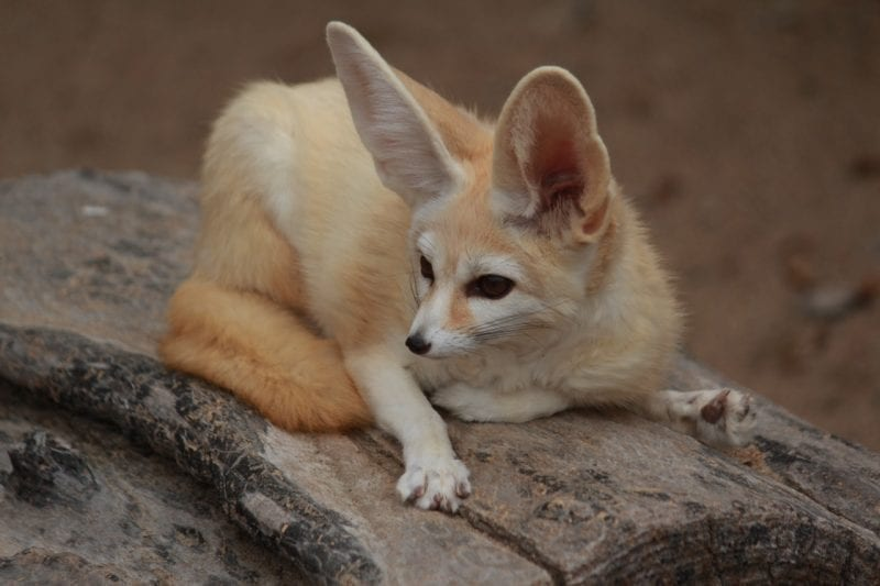 Fennec Fox showing large ears and spread claws, photo credit: Pixabay