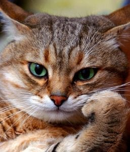 Cat with paw looking seriously at the viewer