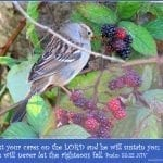 Song Sparrow on Blackberry vine, photo credit: Wendy McDonald