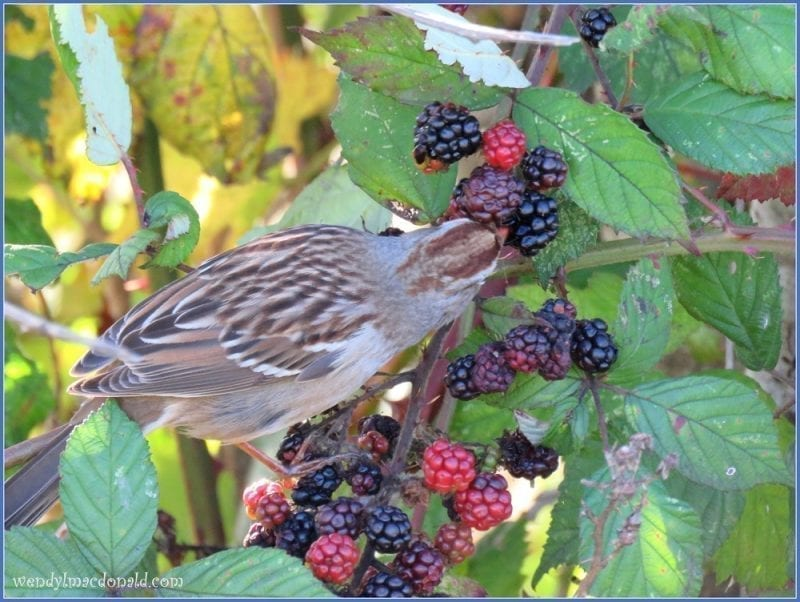 Song Sparrow on Blackberry vine 2, photo credit: Wendy McDonald