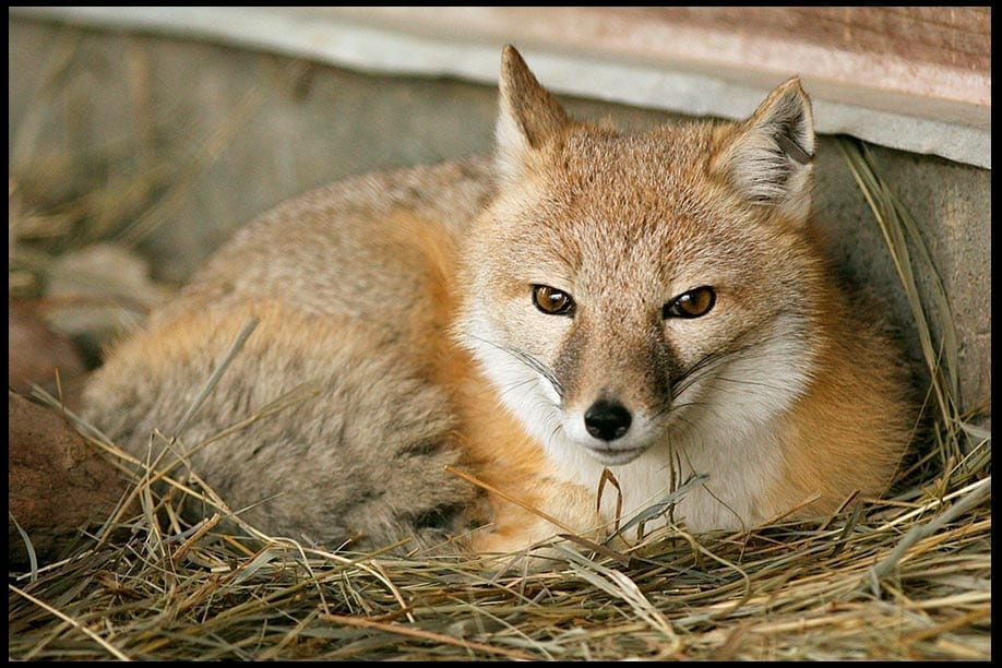 Fox Resting, photo credit: Pat Mingerelli